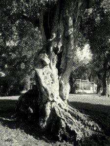 Olivier - Roquebrune