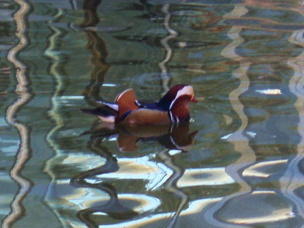 mandarin sur plan d'eau